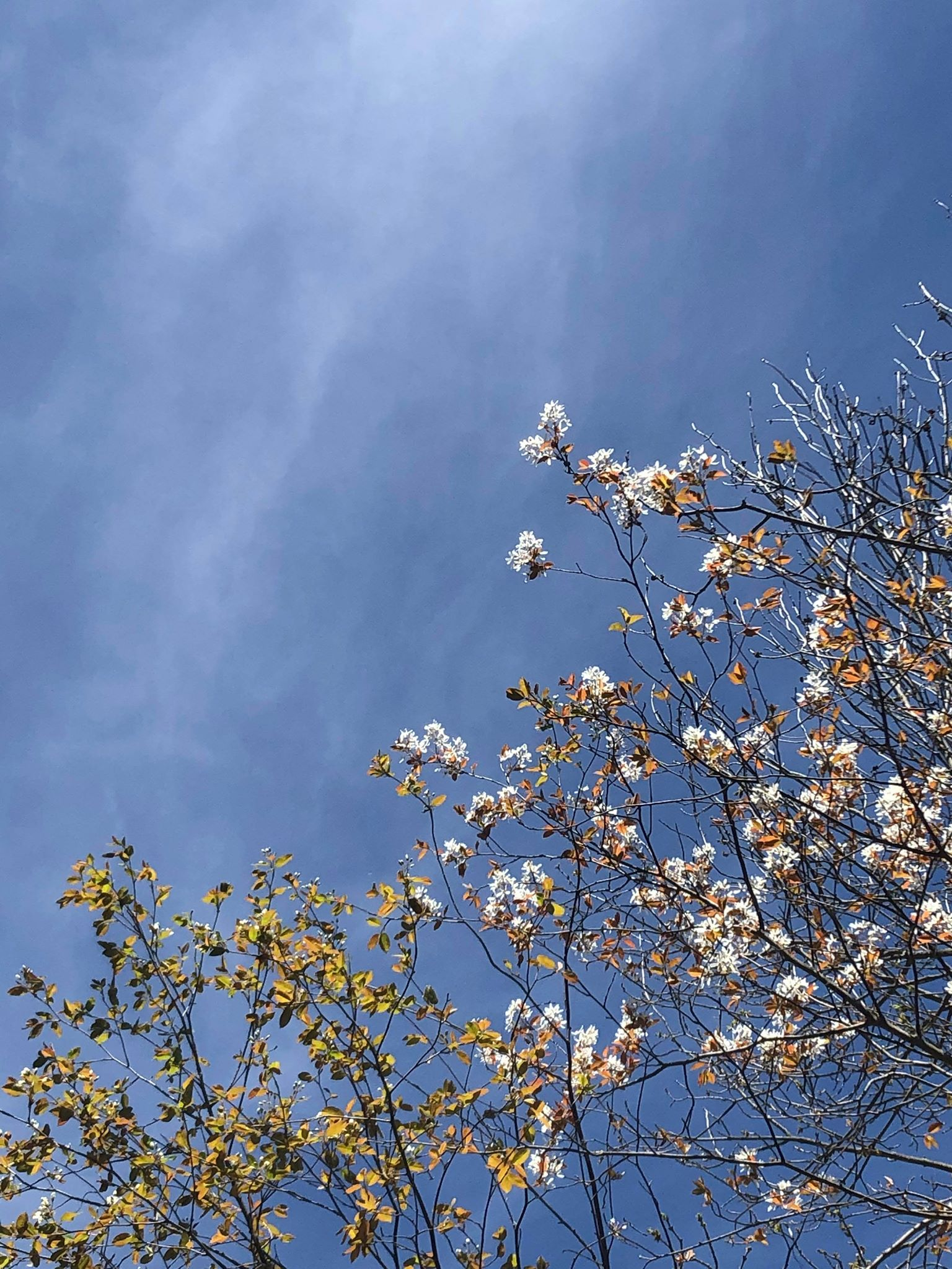 blue skies with spring buds